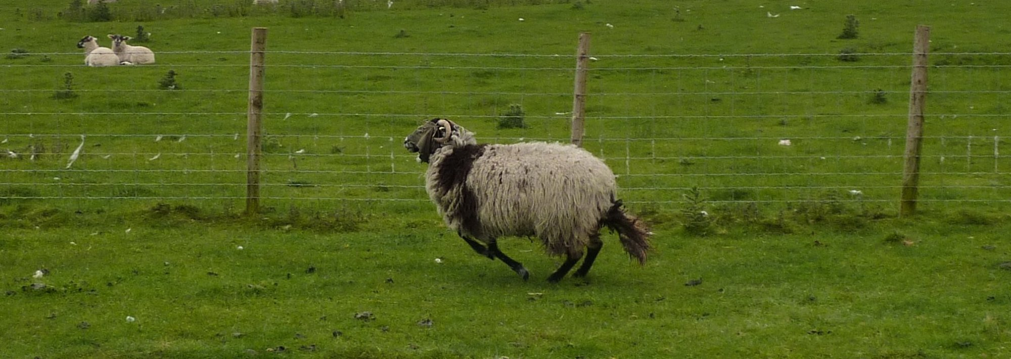 Hoodie sheep dashing away