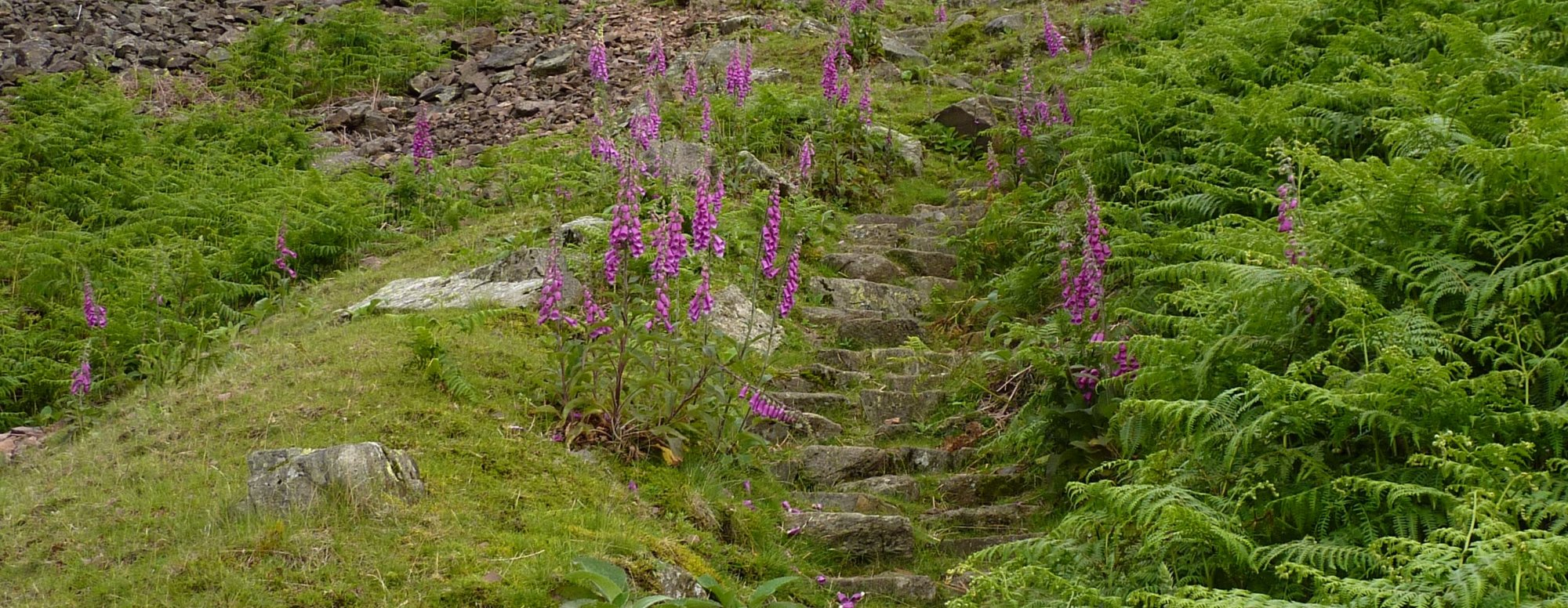 Probably not Lupins at all, on the path up to Silver How