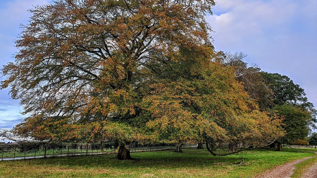 Many magnificent trees in the grounds of Ribston Hall
