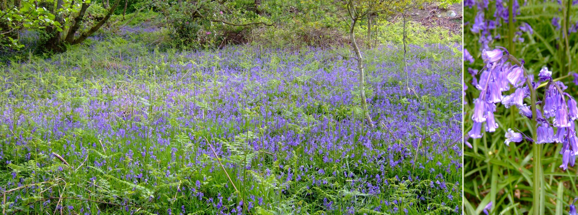 Bluebells everywhere; more Bluebells than litter in fact and that's saying something.