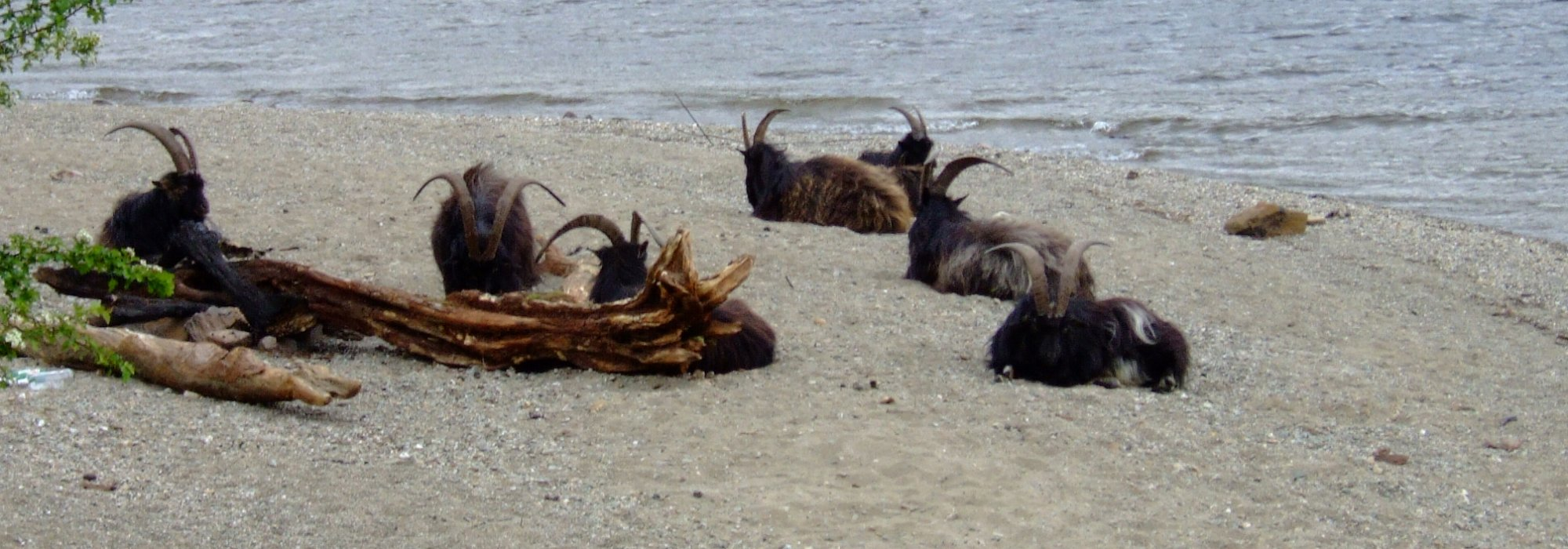 Feral goats enjoying the beach