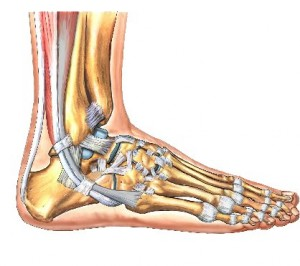 Tendons of the foot
