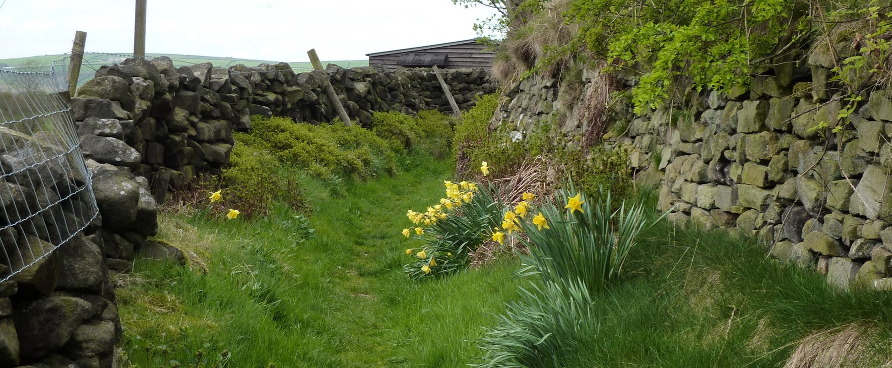 Daffodills beside the path I chose into Cowling