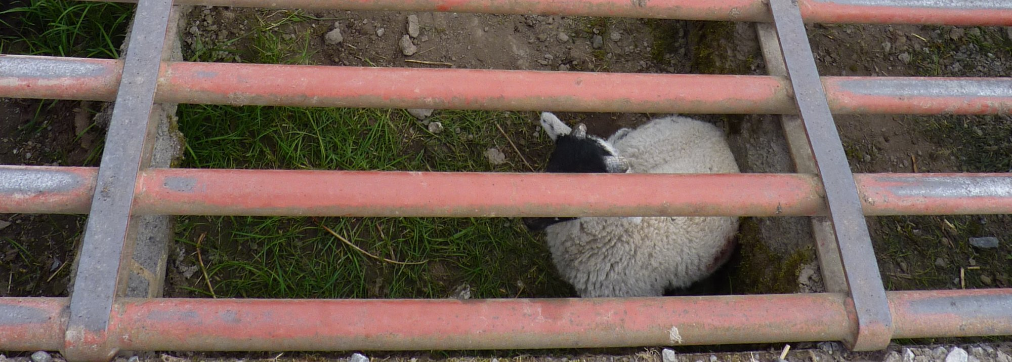 Lamb trapped in the cattle grid... again!