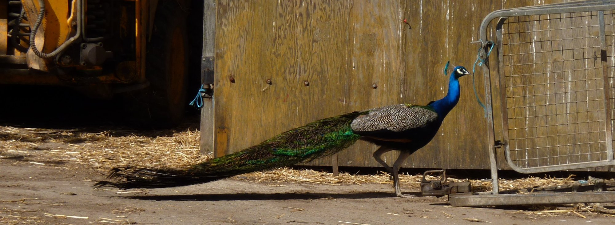 One of the many peacocks at Stoupebrow Cottage Farm