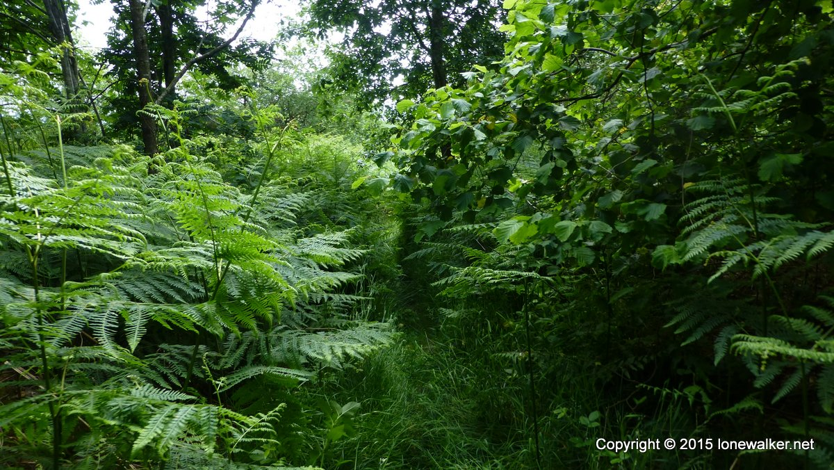 Dense vegetation on the descent to New Radnor